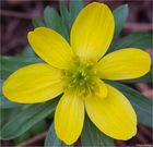 Winterling (Eranthis hyemalis; Syn.: Eranthis hiemalis L.).
