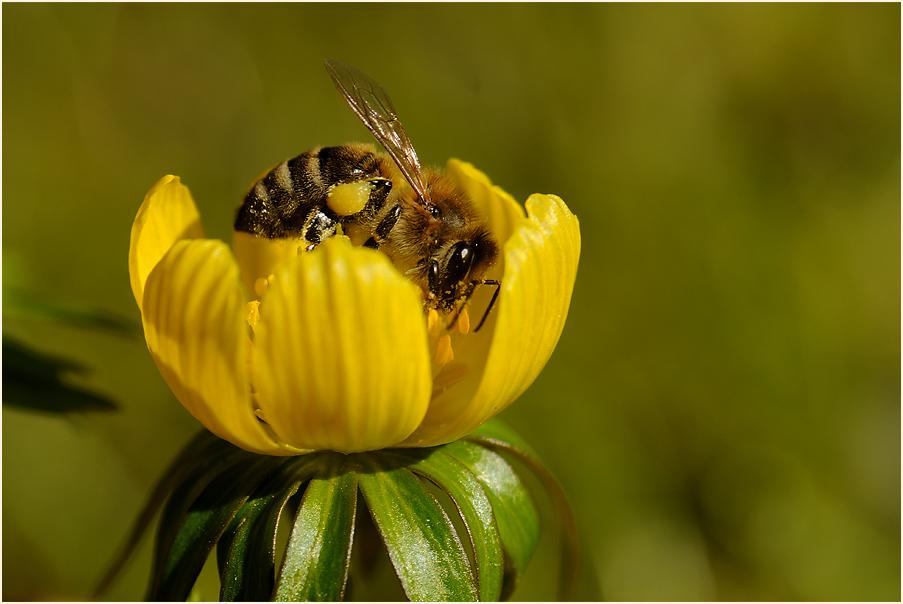 Winterling mit Biene