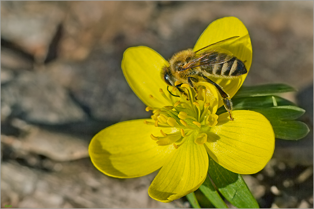 Winterling und Wildbiene