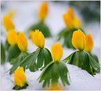 Winterlinge ......