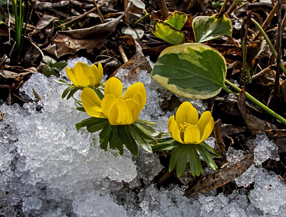 Winterlinge - die ersten Frühlingsboten!