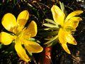 Winterlinge im Frühling von JWG-Photography
