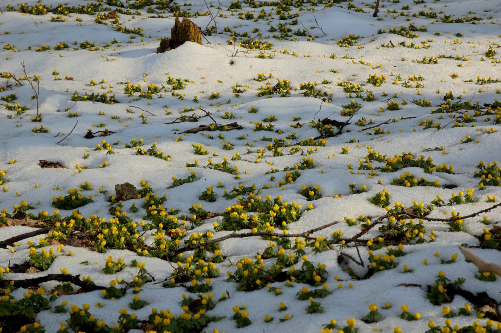 Winterlinge im Rautal bei Jena