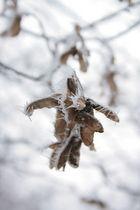 Winternasen