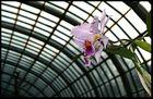 Winterorchidee