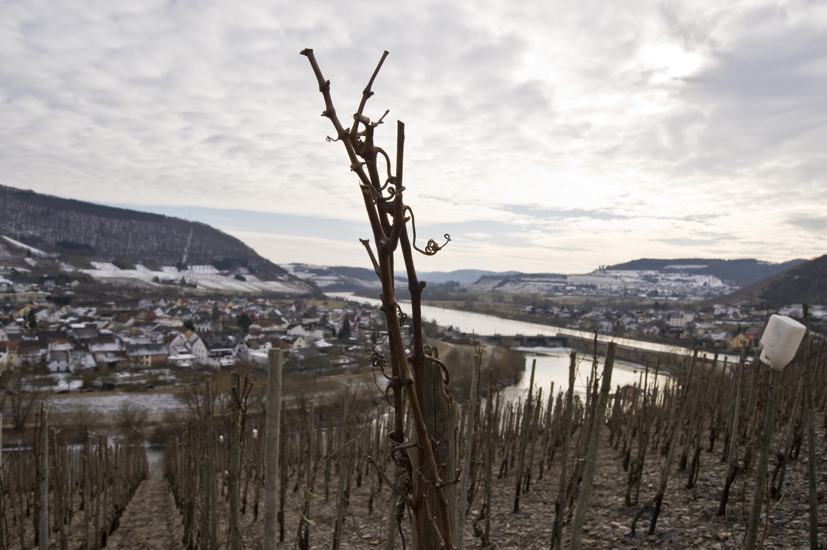 Winterrebe an der Saar