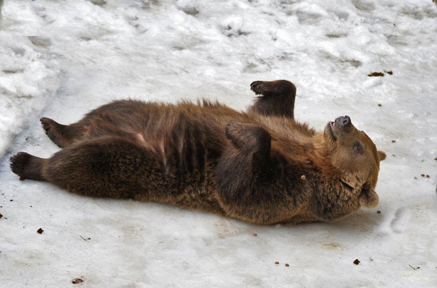 winterschlaf mal anders foto bild tiere zoo wildpark falknerei s ugetiere bilder. Black Bedroom Furniture Sets. Home Design Ideas