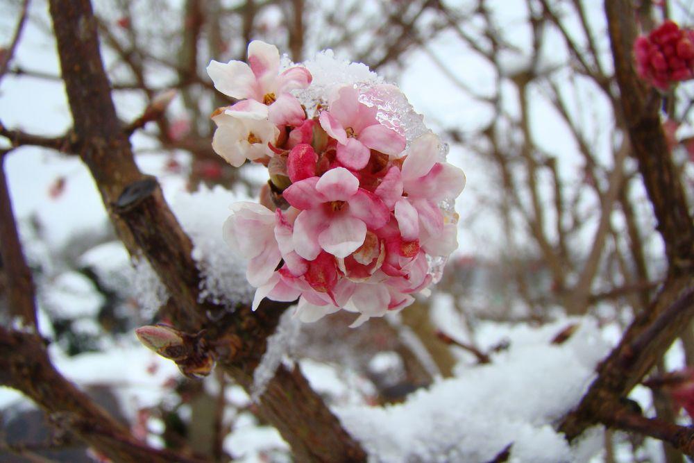 winterschneeball 1 foto bild jahreszeiten winter flora bilder auf fotocommunity. Black Bedroom Furniture Sets. Home Design Ideas