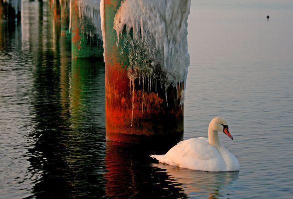 winterschwan