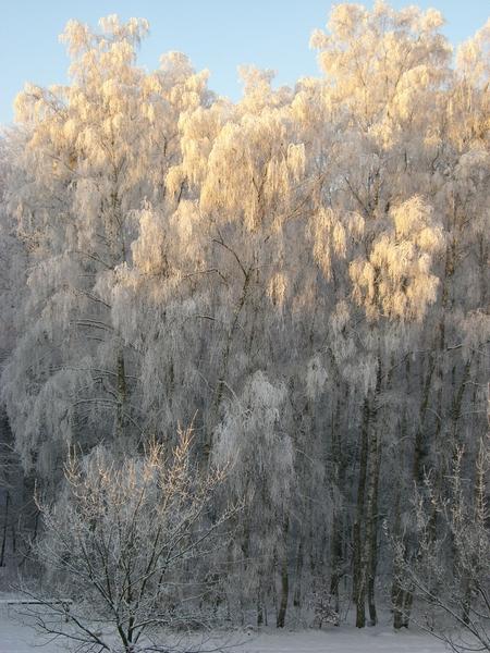 Wintersonne auf Birken