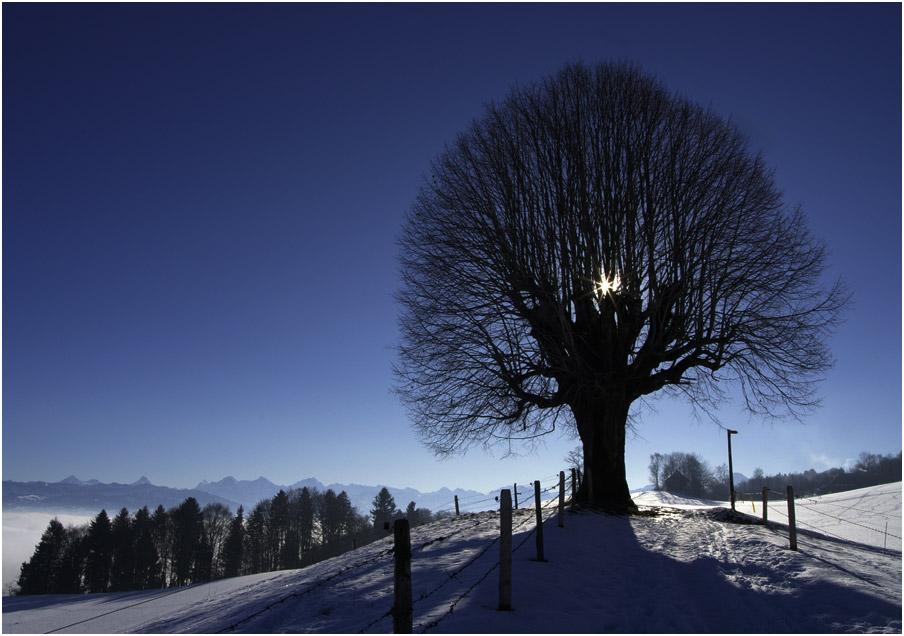 Wintersonnenlinde