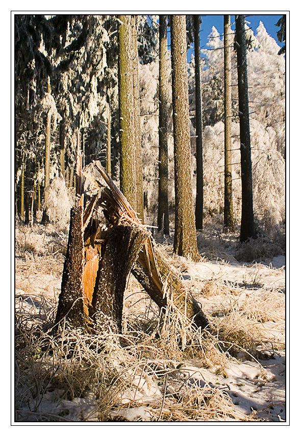Winterwald mit Fichtenbruch