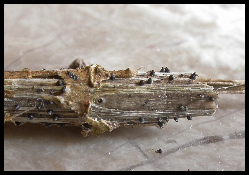 Winzig klein: Leptosphaeria acuta