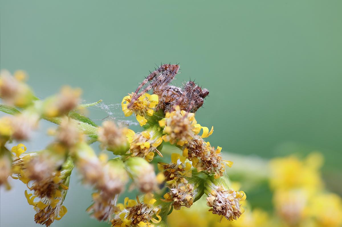 Winzige Gartenkreuzspinne (Araneus diadematus)