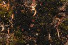 Winzige, mehrfach verzweigte Ästchen: Polychidium muscicola
