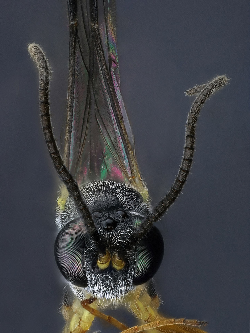 winzige Mücke