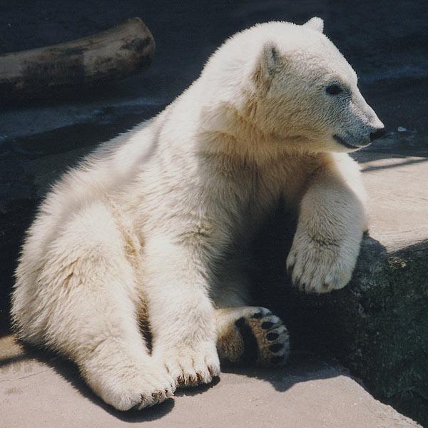 Wir Eisbären haben die Coolness ja schließlich gepachtet...  oder?