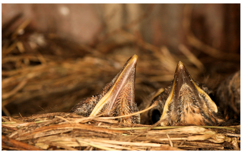Wir haben Hunger - junge Amseln im Nest