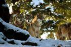 Wir sind die Wölfe