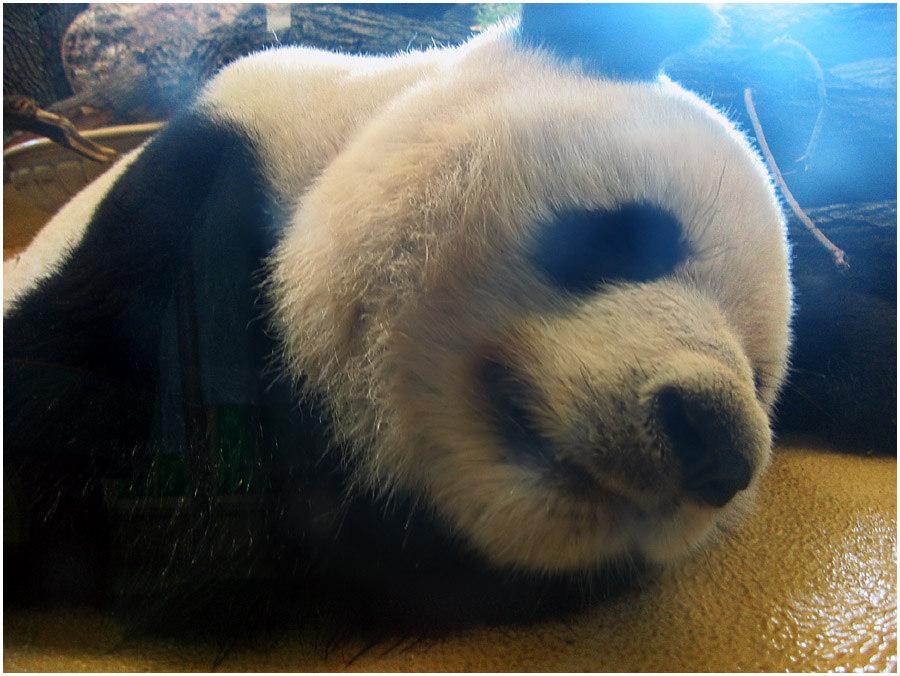 Wir sind Panda!