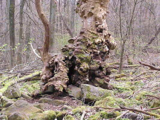 Wird Märchenbaum genannt