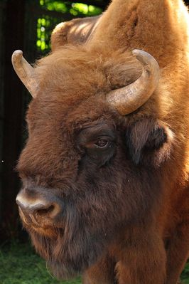 Wisent-Bulle