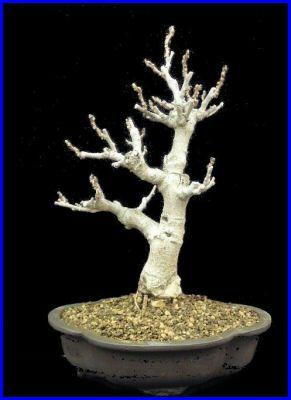 wisteria (blauregen)