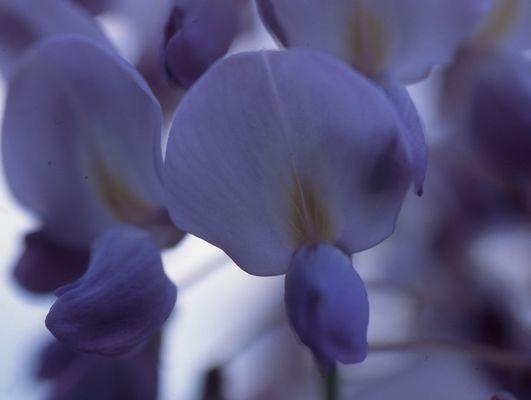 wisteria sinenis