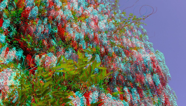 wisteria sinensis (3D-Foto)