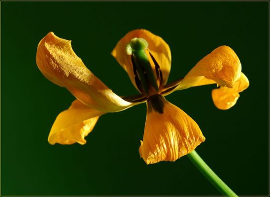 Withered tulip 5