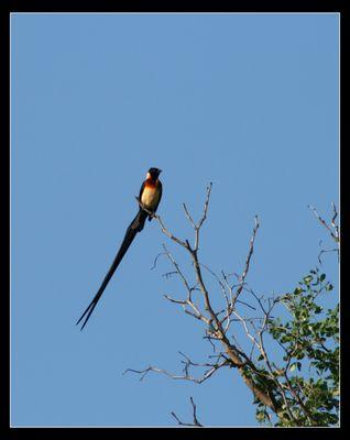 Witwenvogel