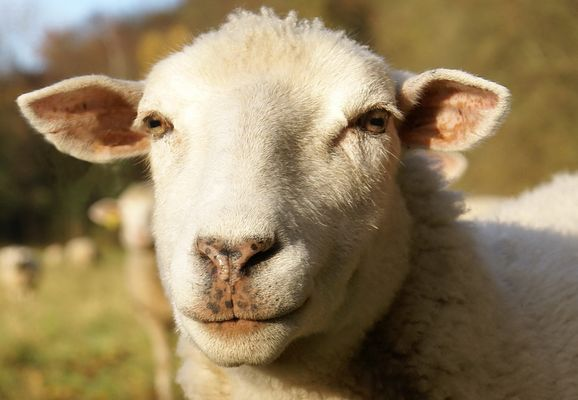 witziges Schaf...