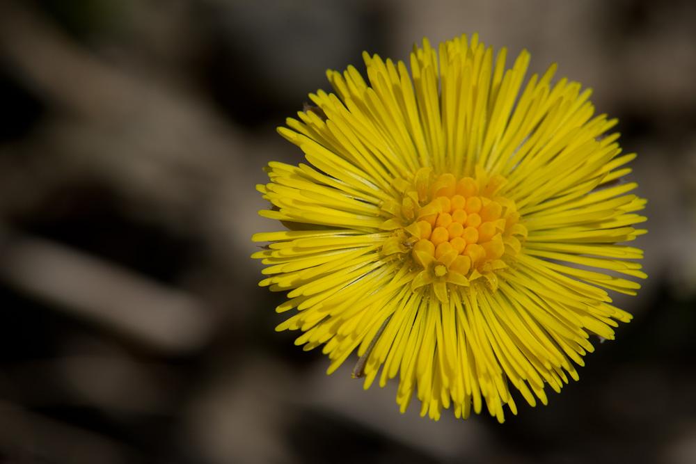 Wo-13/14: Die kleine Blüte in der grossen Blüte des Huflattich