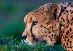 wo bleiben bloß die Gepardenmädchen ?