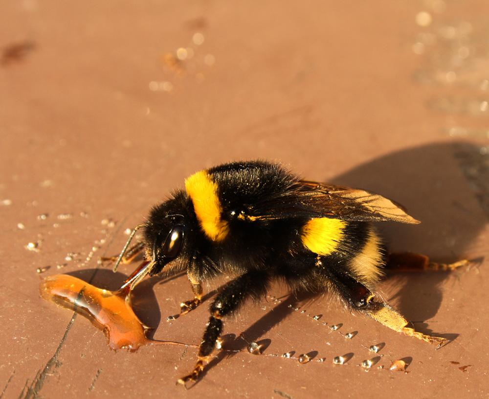Wo der Honig fliesst...