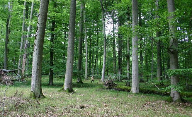Wo gibts solche alten Bäume?
