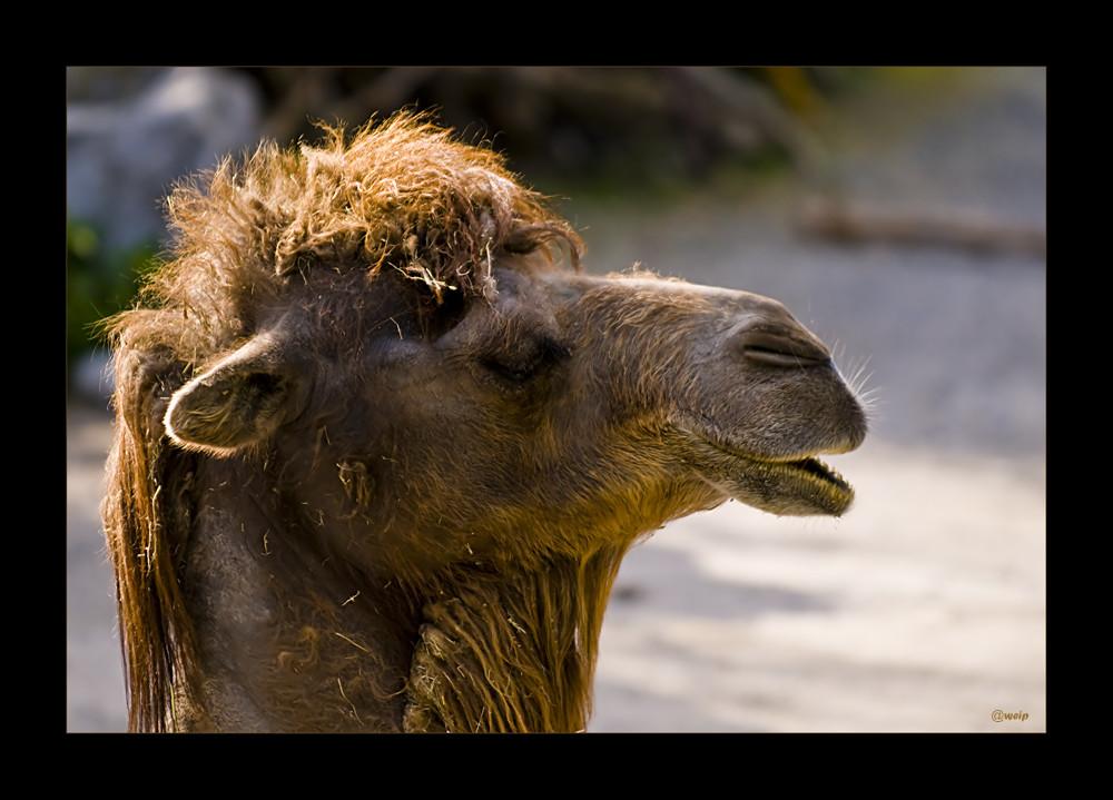 Wo ist die nächste Camel?