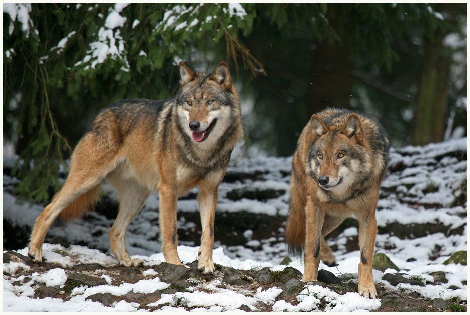 Wölfe 3