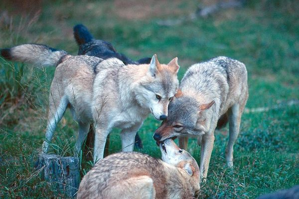 Wölfe beim Spielen