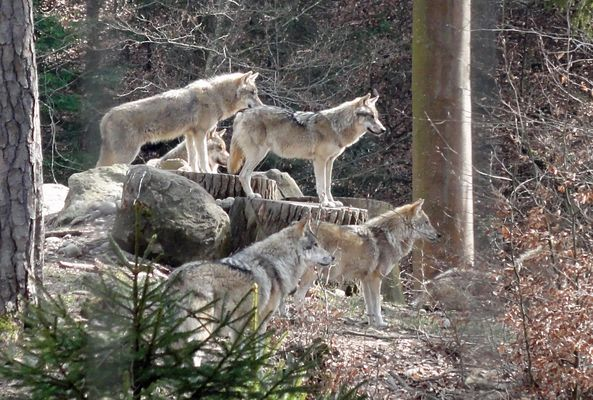 Wölfe beobachten