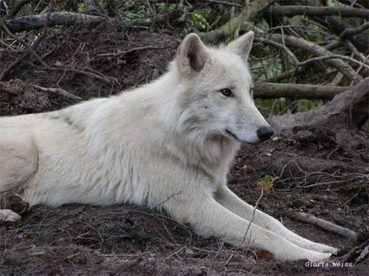wölfe hanau