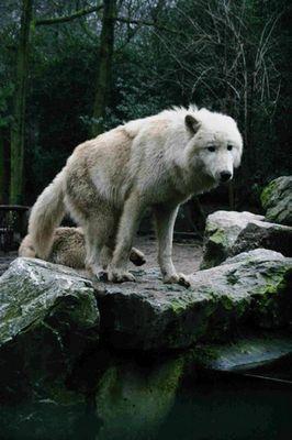 Wölfe im Duisburger ZOO