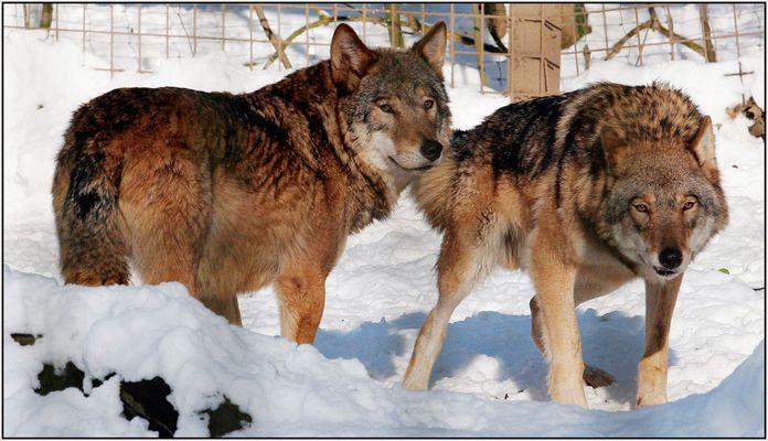 Wölfe im.....(1)
