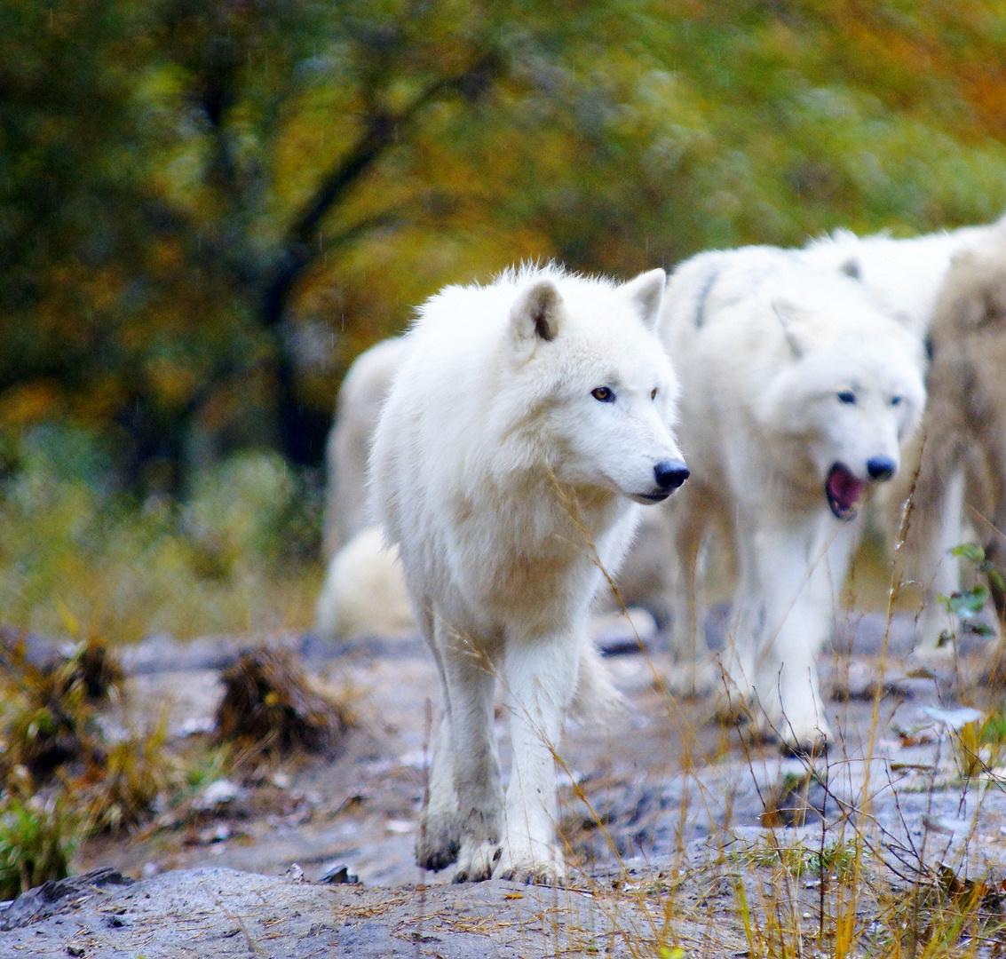 Wölfe in der Fasanerie