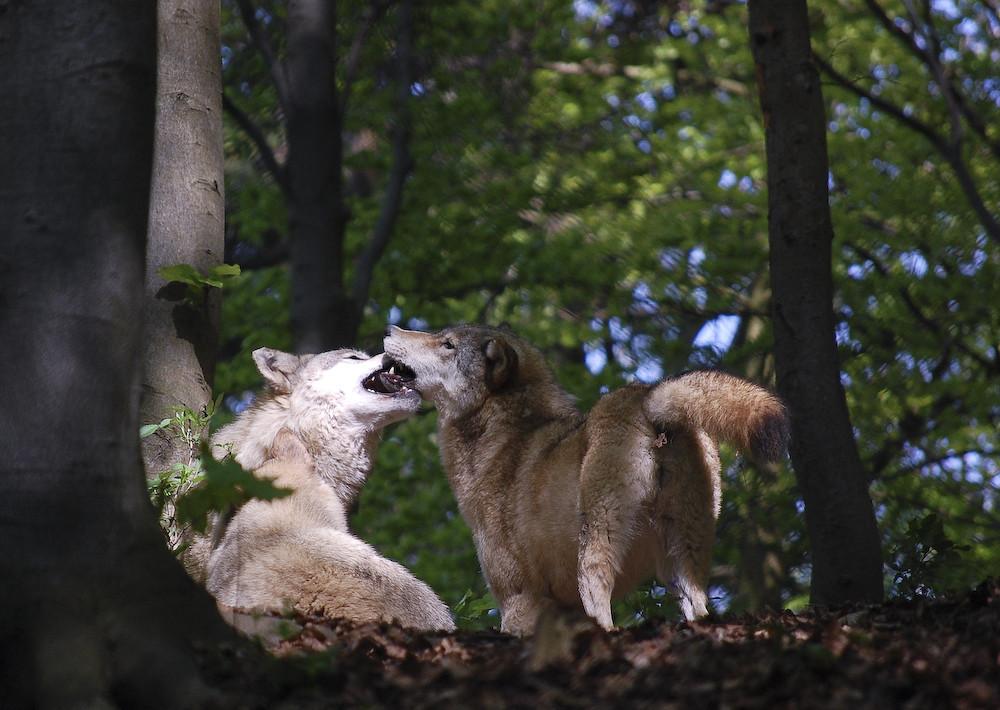 Wölfe unter sich ...