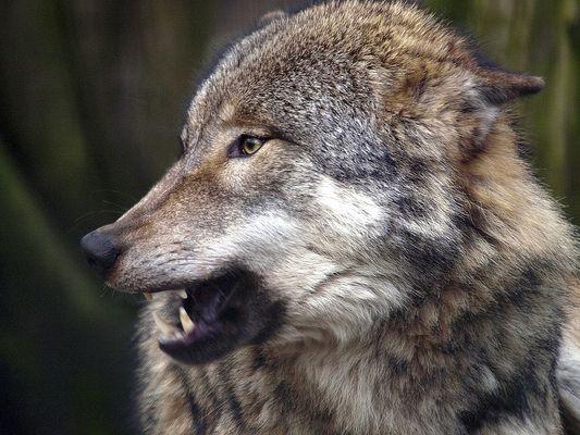 Wölfi
