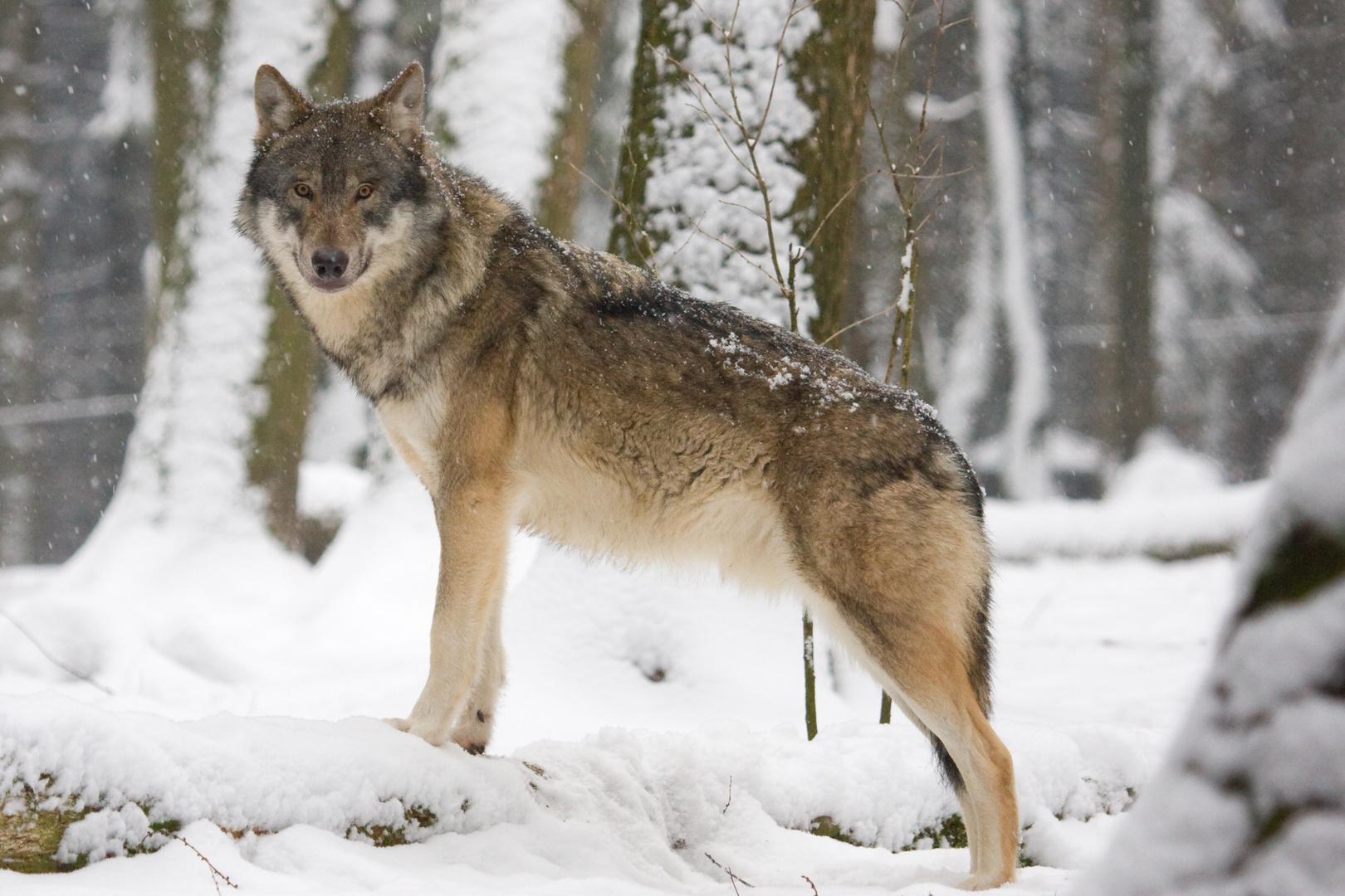 Wölfin auf Ausblick