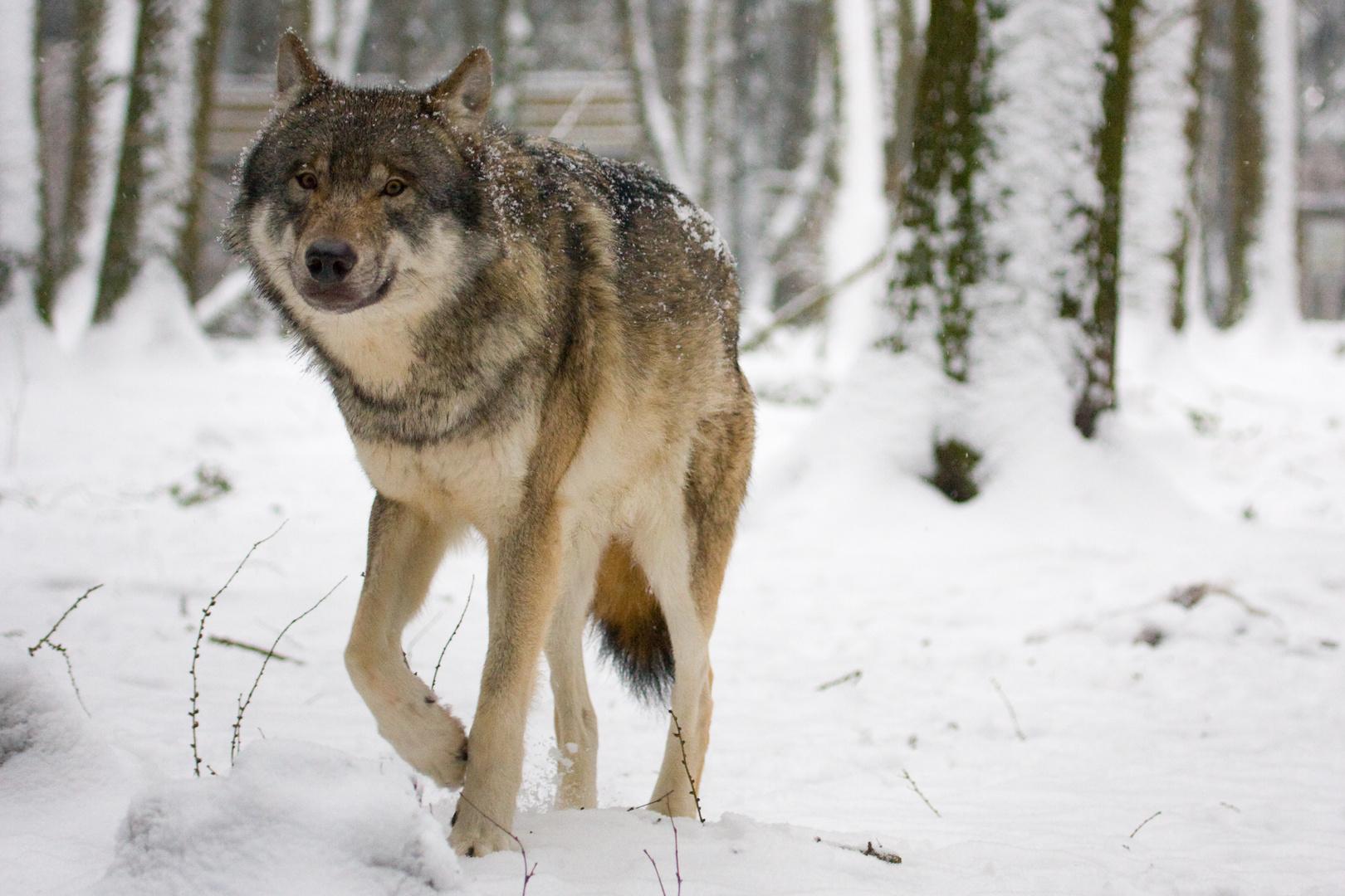 Wölfin auf Streife