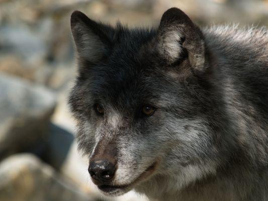 Wölfin MAYA aus den Rockies (GOLDEN B.C.)