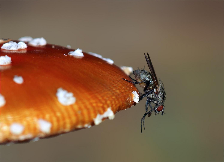 Woher der Fliegenpilz seinen Namen hat...